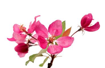 pink flowers on an apple-tree