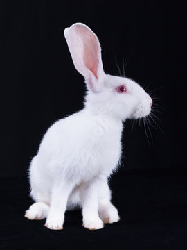 Young white rabbit in profile on a black background