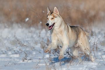 Husky run fast in snow field