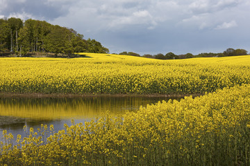 Yellow Rapeseedfield with a pond in south of Sweden