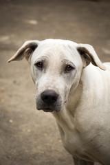 White Dog Thailand close up (thai dog)
