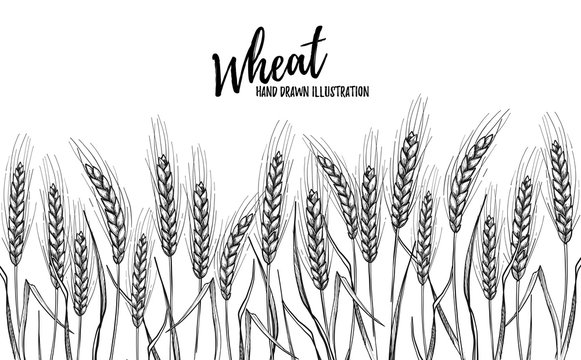 Hand drawn vector illustration - Wheat. Bread design template. Perfect for menu, cards, posters, prints, packaging