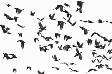 Printed roller blinds Bird flock of birds isolated on white background and texture, ( Rook and Jackdaw )