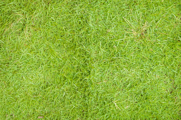 Background of Green Grass texture for Nature ecology concept
