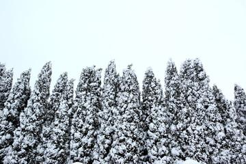 Drzewo tuja