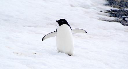 wild penguin on snow