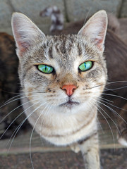 Portrait of a gray beige cat with green eyes