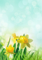 Daffodils in spring grass