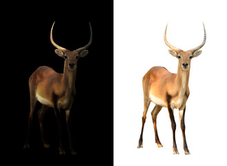Wall Mural - male red lechwe in the dark and white background