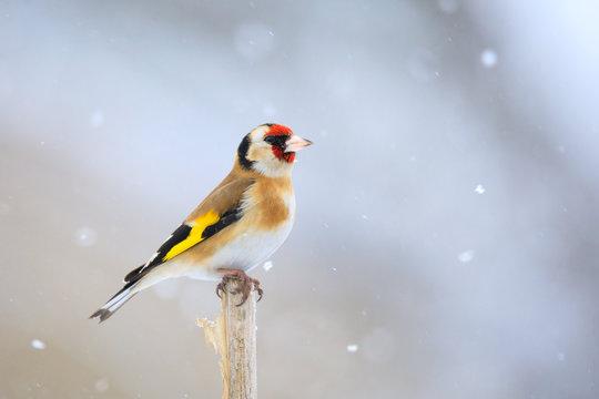small bird European goldfinch in winter