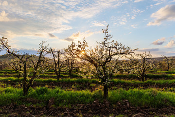 sun in orchard