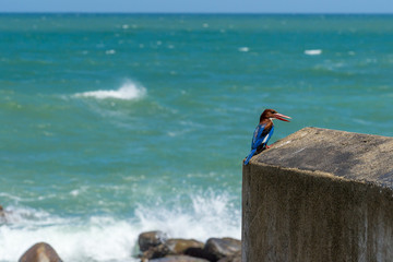 Halcyon, Kingfisher, Smyrnensis, against ocean background. Sri Lanka City Matara. The Sri Lankan White-throated kingfisher against ocean background.