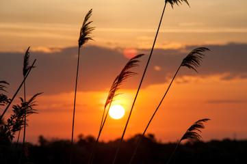 Gräser vor aufgehender Sonne
