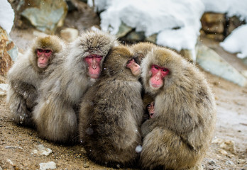 Group of Japanese macaques sitting together on the rocks. Japan. Nagano. Jigokudani Monkey Park. An excellent illustration.