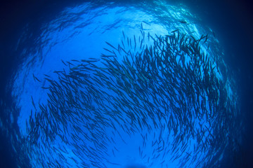 Fish in ocean. Barracuda fish school. Blue sea water background and fish