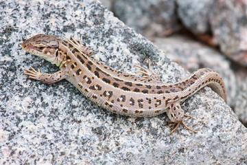 Pregnant lizard on a rock