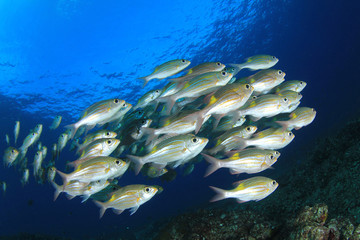 Fish in sea. Snapper fish on ocean reef