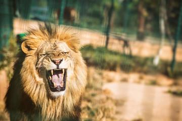 Portrait d'un lion rugissant