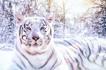 Photo sur Plexiglas Tigre Portrait d'un tigre blanc dans la forêt enneigée