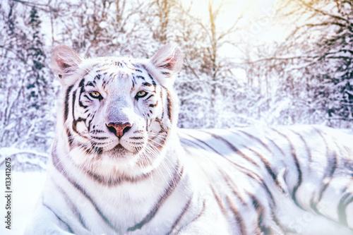 Portrait d 39 un tigre blanc dans la for t enneig e photo libre de droits sur la banque d 39 images - Photo de tigre a imprimer ...
