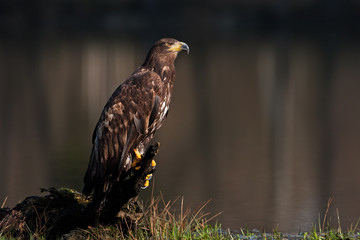 White-tailed eagle, haliaeetus albicilla, Czech republic