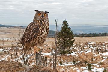 Eurasian eagle-owl, bubo bubo, Czech republic