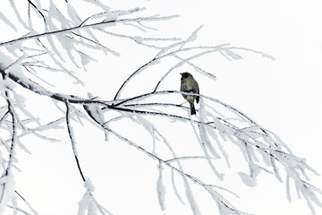 Sparrow on snowy branches.