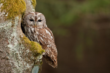 brown owl,   tawny owl, strix aluco, Czech republic