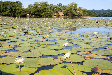 Water lilies on the Dulce river in Guatemala.