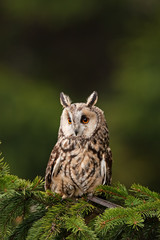 long-eared owl, asio otus, Czech republic