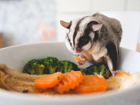 Sugar Glider eat human food.