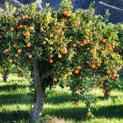 mediterranean orange tree