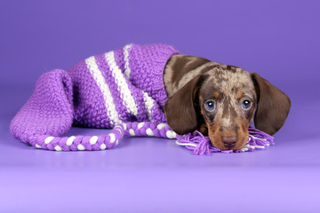 Little Dachshund puppy on a purple background