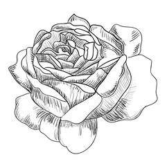Рисунок бутон розы, эскиз ,тату
