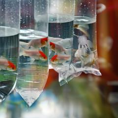 Red & White Fancy Goldfish