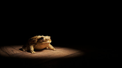 Common Toad sitting on a wooden floor, lit by a bright spotlight