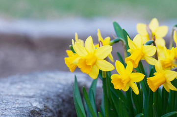 Papiers peints Narcisse yellow narcissus flowerbed