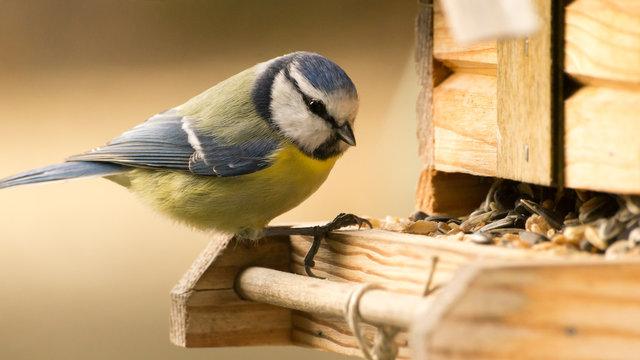 Blaumeise an einem Vogelhaus