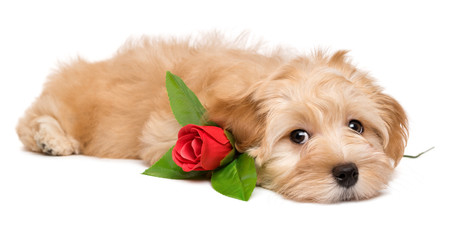 Cute lover havanese puppy dog lying with an artificial red rose