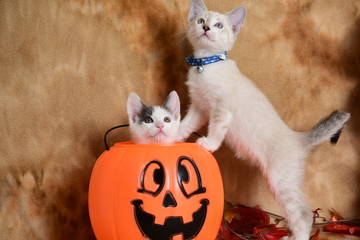 Kittens and Jack-O-Latern - Humane Society