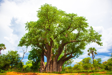 Baobab tree in Victoria Falls Zimbabwe Africa