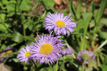 "Blue hybrid ""Fleabane"" flowers in St. Gallen, Switzerland. Its Latin name is Erigeron Grandiflorum."