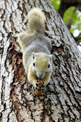The squirrel with peanut on the tree.