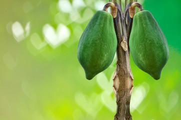 The papaya tree with fruits