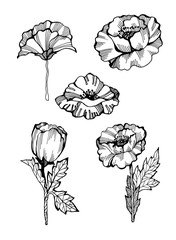 Set of poppies as design elements. Hand drawn summer flowers for greeting cards. Isolated on black background