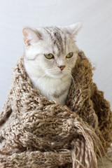 Small grey cat wrap up in woolen scarf.