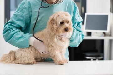 Chien et soins vétérinaire