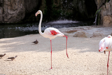 Flamingo bird in a beautiful ambient enjoying the sunny day
