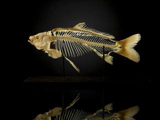 Taxidermy skeleton of fish against black
