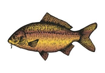 Carp fish sketch. vector illustration